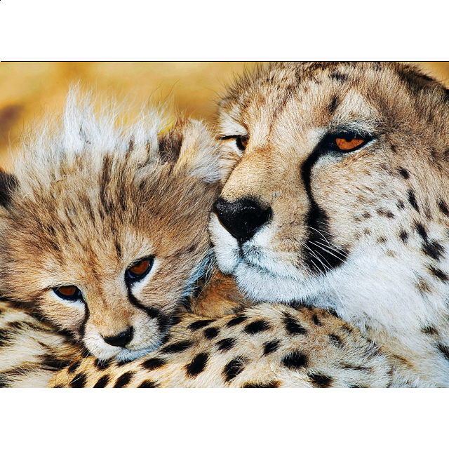 animal-planet-cheetahs-puzzle-large-piece