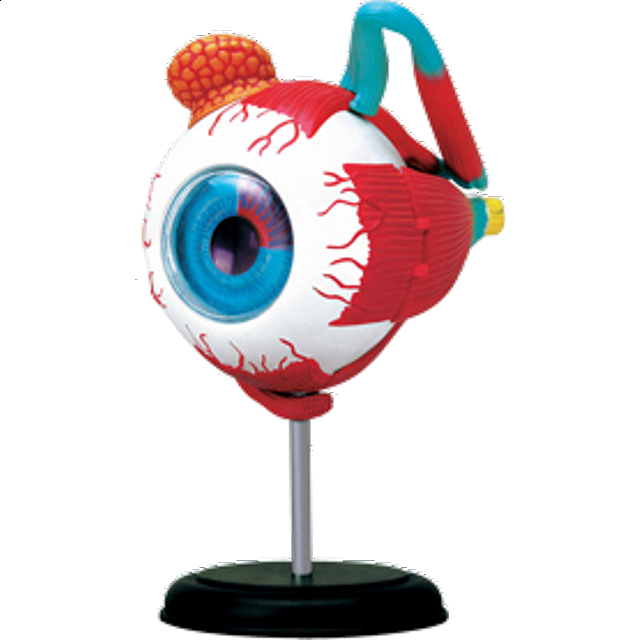 4D Human Anatomy - Eyeball | Games & Toys | Puzzle Master Inc