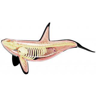 4d-vision-orca-anatomy-model